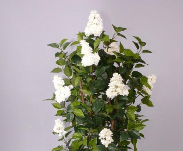 Flieder mit 1672 Blättern, weissen Blüten, Höhe 120cm