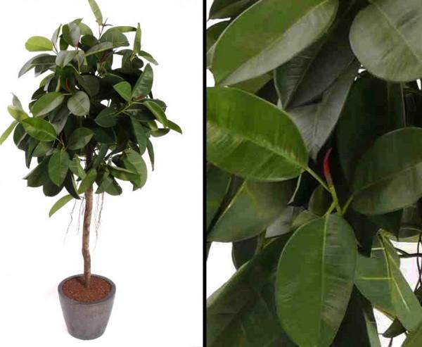 Künstlicher Ficus Gummibaum Höhe ca. 150cm