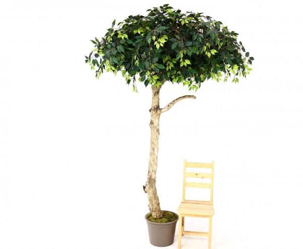 Ficus Kunstbaum in Schirmform 275cm mit Echtholzstamm und grüne Blätter