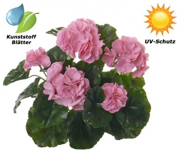 Geranie rosa, Blätter UV geschützt und Wasser abweisend