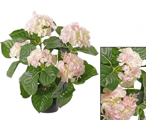 Hortensien mit 5 creme rosa farbigen Blüten Höhe 42cm