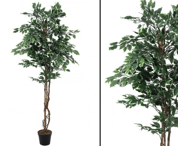Silberficus Benjamini mit Naturstämme, 1008 Blätter, Höhe 180cm