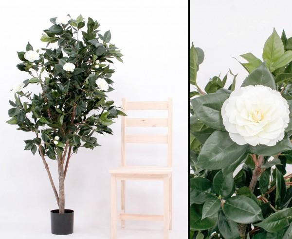 Kamelien- Camellia Japonica Baum mit 786 Blättern und 20 weißen Blüten Höhe ca.155cm