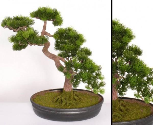 japanischer pinien bonsai online g nstig kaufen. Black Bedroom Furniture Sets. Home Design Ideas