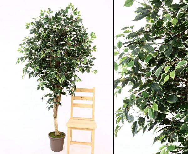 Kunstbaum Ficus Premium 200cm Echtholzstamm mit Ästen