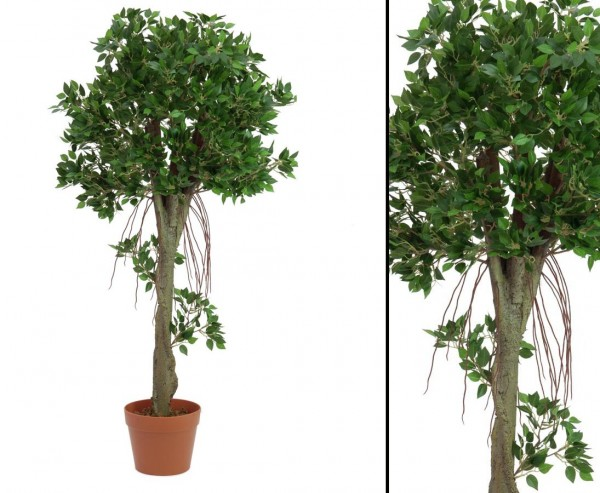 Ficuskugelbaum im Topf, Höhe ca. 100cm
