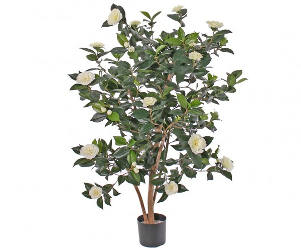 Kamelien- Camellia Japonica Baum mit 762 Blättern und 36 weißen Blüten Höhe ca.135cm