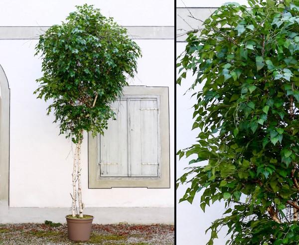 Kunstbaum Maxi Birke 400cm mit Naturstämmen und 9324 Textilfaser Blätter