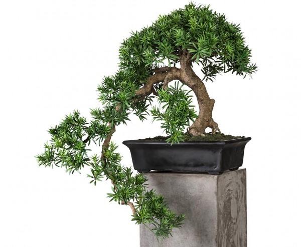 Künstlicher Bonsai Podocarpus mit 64cm und Ästen mit 80cm in Faserzement Schale
