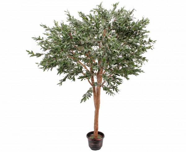 Mammut Olivenbaum mit 8960 Blättern Höhe 250cm