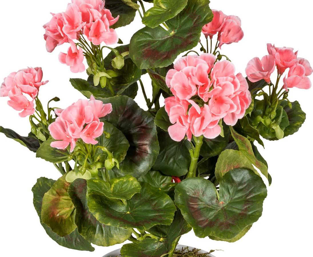 Geranie UV-Beständig mit rosa Blüten für Außeneinsatz hier kaufen