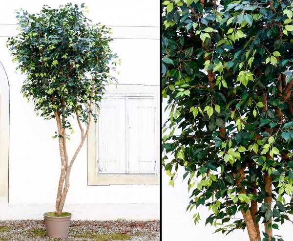 Kunstbaum Ficus XL mit grünen Blättern und Naturstämme 400cm mit Topf