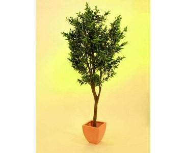 Olivenbaum mit Oliven, dicker Stamm, Höhe ca. 250cm