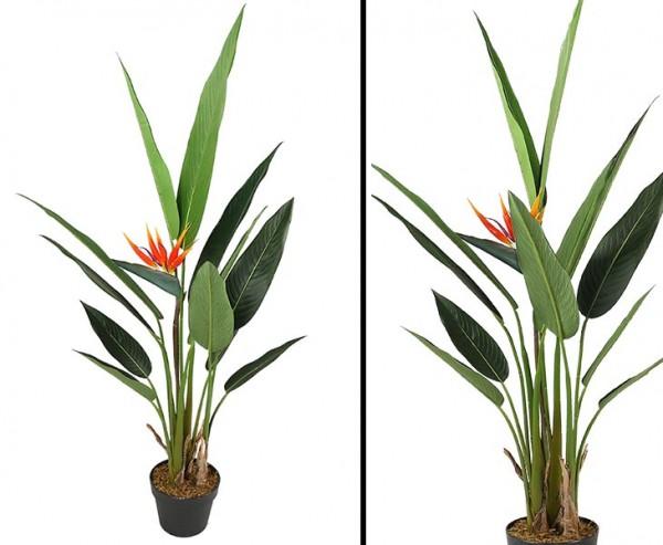 Strelizienstaude 120cm mit 12 Blättern und 1 Blüte im Topf