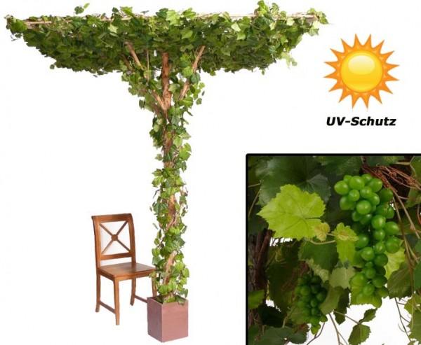 Rebstock mit Dachtraube, quadratische Form mit UV Schutz, mit 2856 Blätter, 28 Weinreben mit Trauben