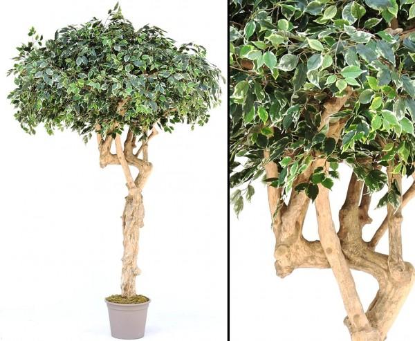 Ficus Kunstbaum in Schirmform 275cm mit Echtholzstamm mit Ästen