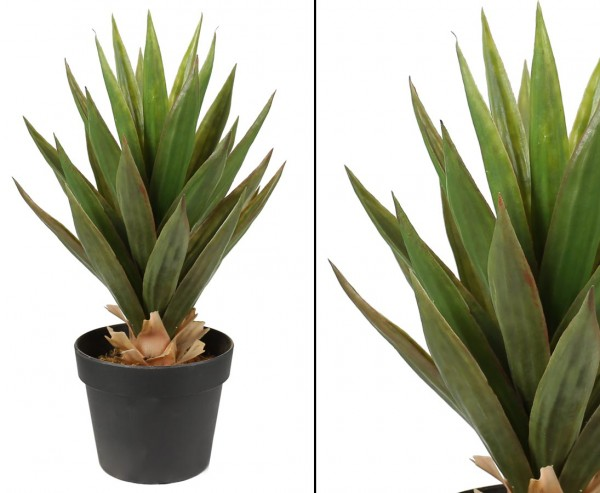Aloe Vera Pflanze 31 Blätter mit ca. 50cm im Topf