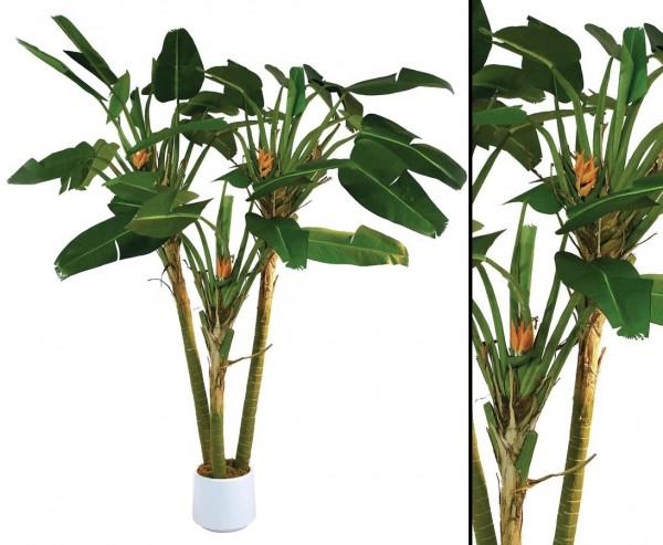 Strelizienpalme 3-fach mit 33 Blätter und 17 Blüten Höhe ca. 250cm
