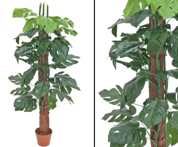 Splitphilodendron, am Stamm mit 40 Blättern, Höhe 150cm