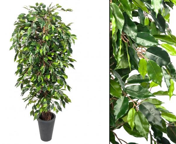 Ficus Benjamini Multitrunk mit 1440 Blätter Höhe ca.180cm