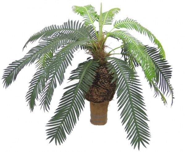 Cycus Palme, mit dickem Knollenstamm, 60cm