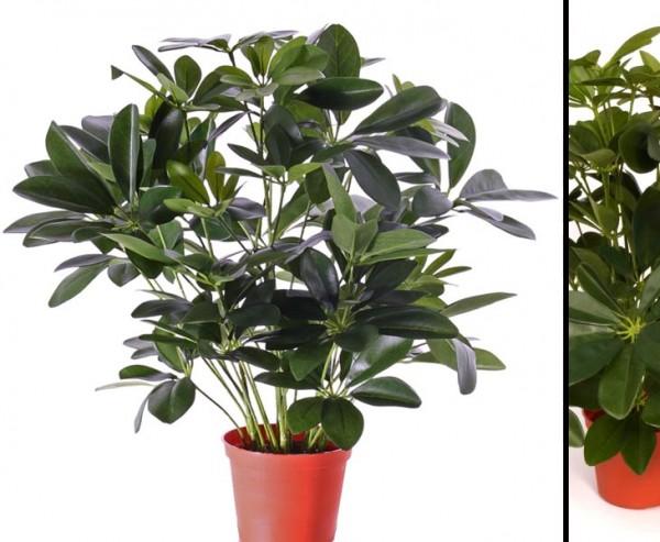 Schefflera Baby-Busch Kunstpflanze Höhe ca. 55cm