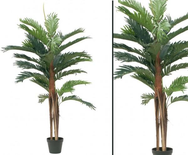 Kentia Palme mit 3 Palmfaserstämme Höhe ca. 120cm
